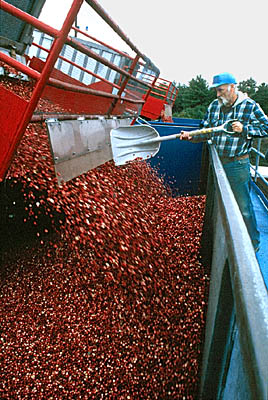 Cranberries being unloaded at Oceanspray receiving station. Photo by Maggie Holtzberg.