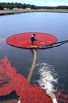 Cranberry harvest in Lakeville, Massachusetts. Photo by Maggie Holtzberg.